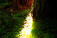 Redwood light path by Sharon Mollerus